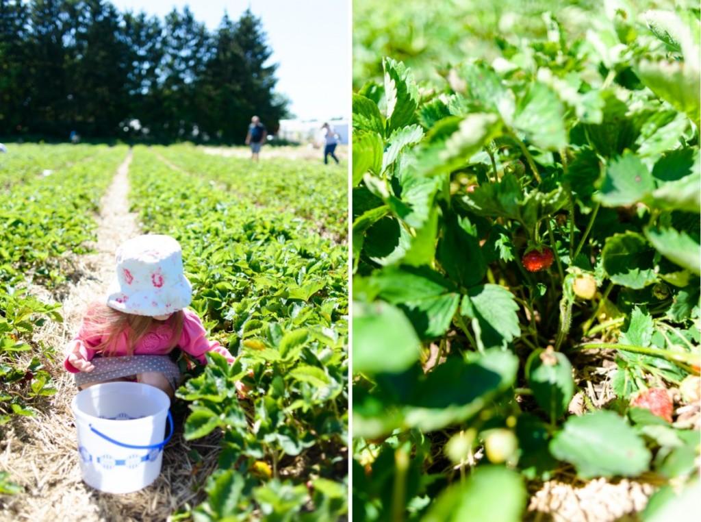 hemmeter strawberry picking-005