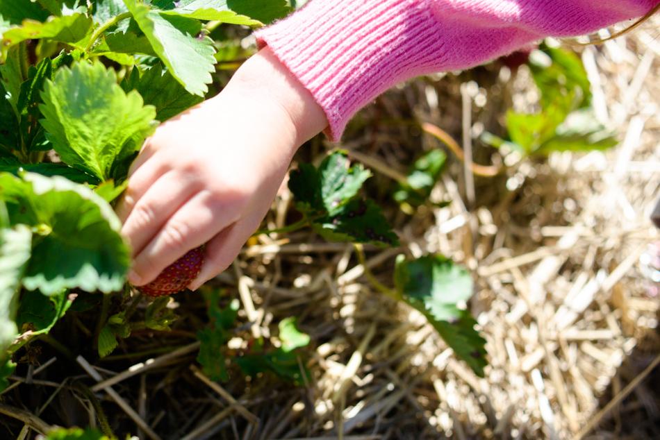 hemmeter strawberry picking-007