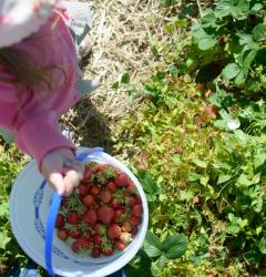 hemmeter strawberry picking-010