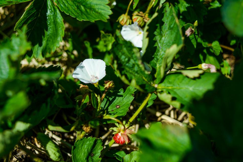 hemmeter strawberry picking-011